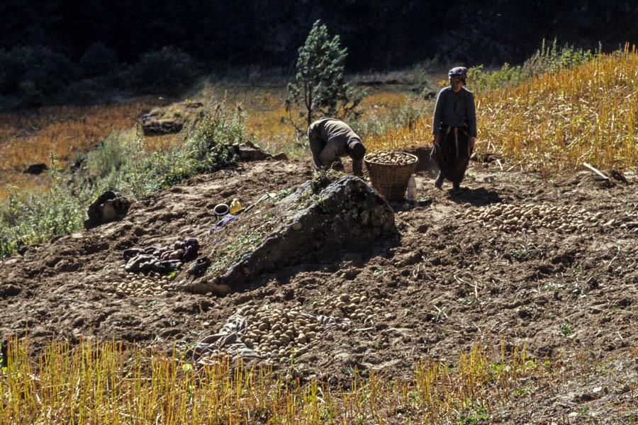 Vall e de pungmo ramassage des pommes de terre - Ramassage pomme de terre ...